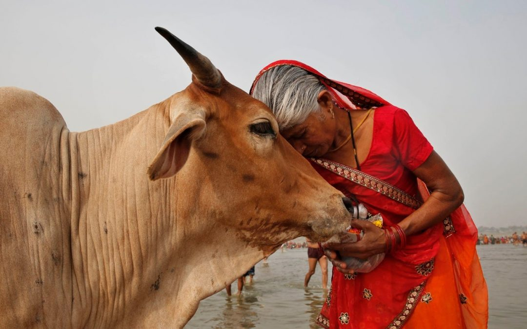 Why do Hindus worship cows ?